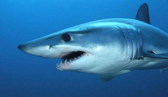 كيف يهدد لقاح كورونا أسماك القرش؟