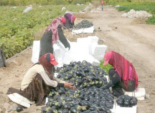 مزارعون بوادي الأردن: تأخر المطر يضاعف كلف مكافحة الآفات الزراعية