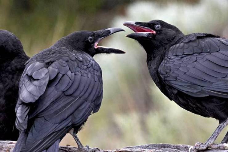 العلماء يثبتون قدرة الغربان على التفكير الواعي لأول مرة!