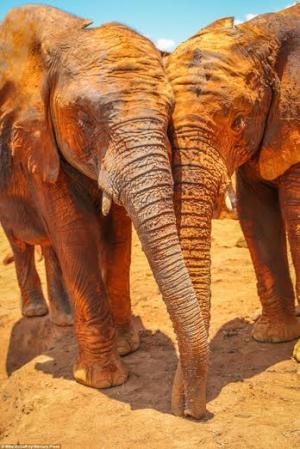 """بالصور.. متعة صغار الفيلة في """"معركة الطين"""""""