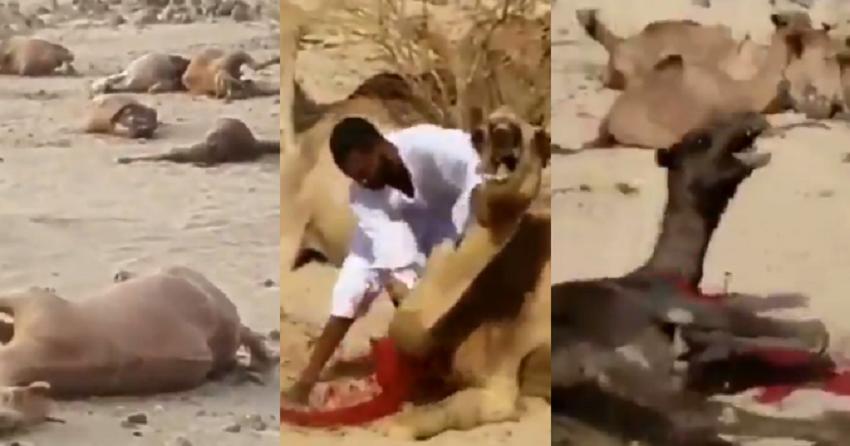 بالفيديو  ..  مشاهد صادمة لمذبحة جِمال في مكة المكرمة