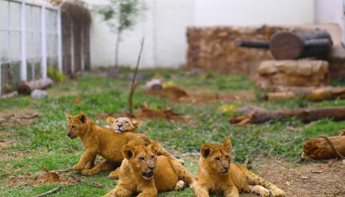 كورونا يداهم 8 أسود في حديقة حيوان هندية