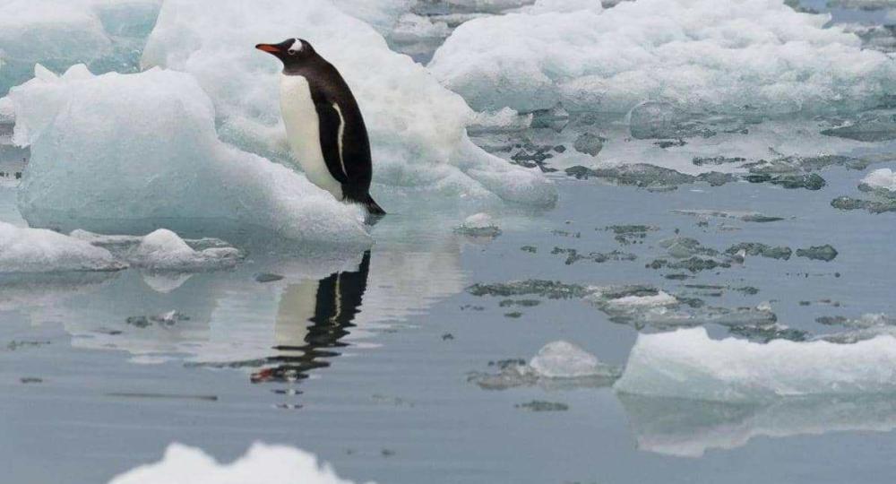لأول مرة ..  علماء يسجلون صوت البطريق تحت الماء