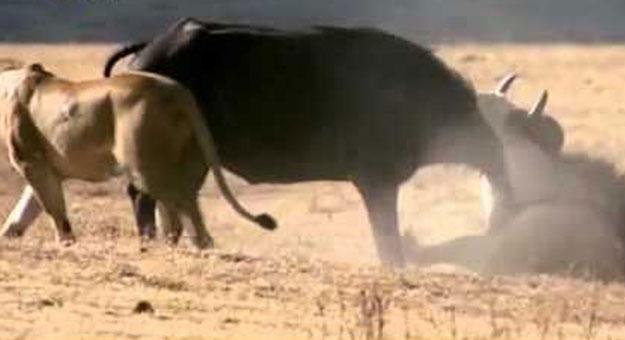 بالفيديو.. أسد وجاموس فى معركة شرسة من أجل البقاء