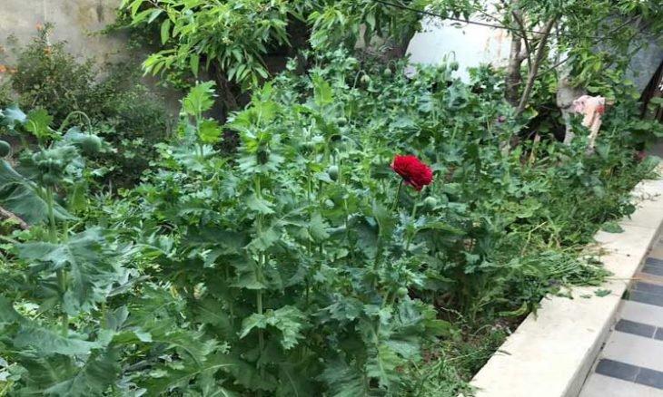 """بالصور  .. فلسطيني يستدعي الشرطة بعد ظهور """"زهور"""" غريبة في حديقة منزله"""