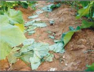 """الزراعة لـ""""سرايا"""" : موجة الحر لم تؤثر سلباً على المرروعات"""