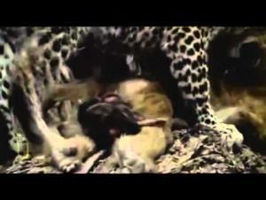 بالفيديو.. نمر يصطاد قرد !!!!ولكن القرد هنا المفاجئة