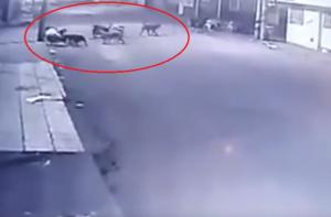 فيديو: كلاب ضالة تحاصر امرأة وتنهش لحمها!
