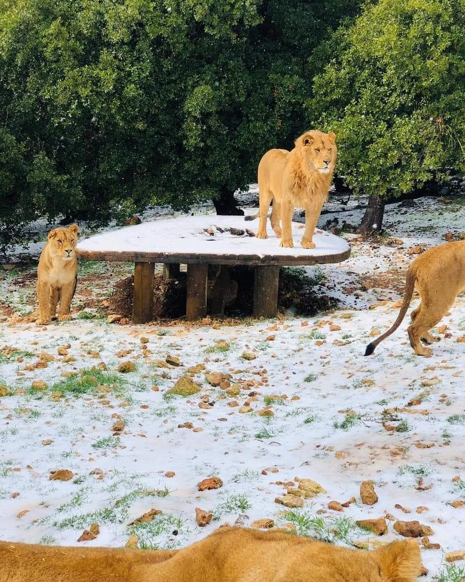بالصور ..  الأسود و النمور تلهو على الثلوج في جرش