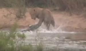 بالفيديو ..  ماذا حدث لأسد عبَرَ نهراً وفاجأه تمساحٌ ضخم من تحت المياه؟!