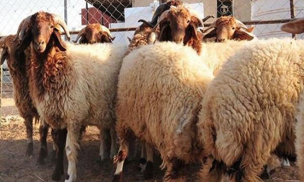 لأصحاب الاضاحي ..  الطريقة الشرعية لتوزيع اللحوم بعد الذبح