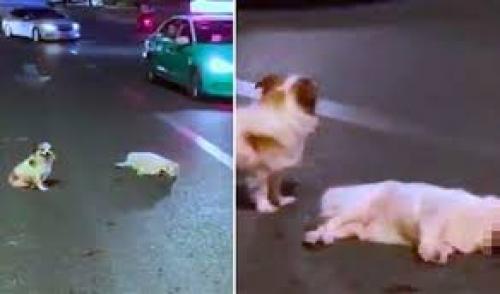 بالفيديو  ..  كلبٌ يقف إلى جانب صديقه 3 ساعات بعدما دهسته سيارة!