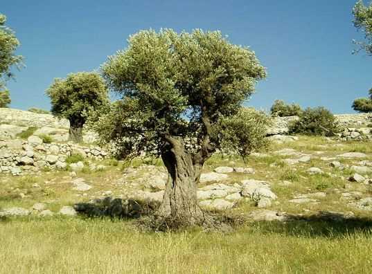 شجار تحت شجرة الزيتون