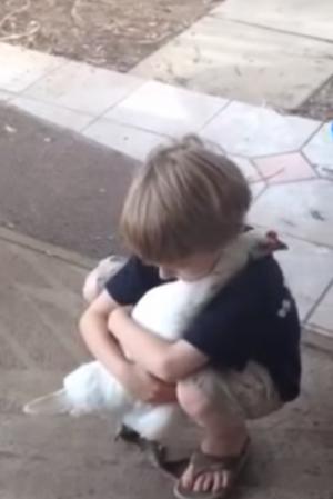 بالفيديو .. دجاجة تحتضن طفل !