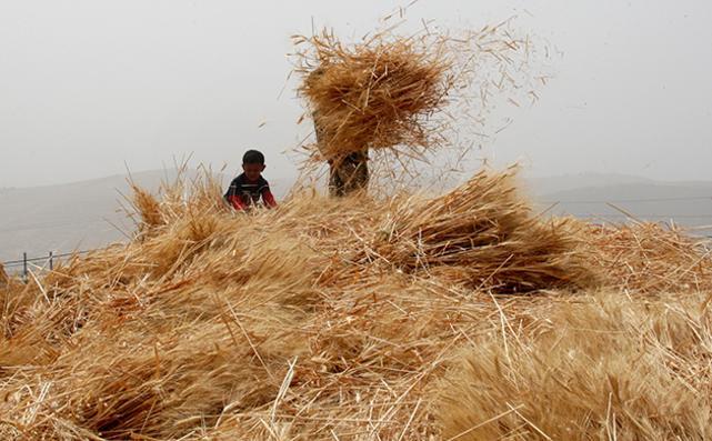 """مصادر: """"الصناعة"""" مسؤولة عن تردي شحنات القمح والشعير"""