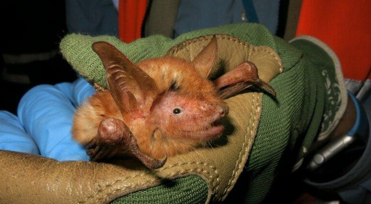 اكتشاف أنواع جديدة من الخفافيش في إفريقيا