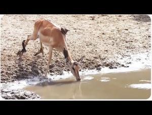 بالفيديو .. غزال يفلت من فكيّ تمساح ضخم