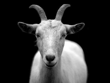 تفسير حلم رؤية الماعز أو المعزة أو العنزة في المنام