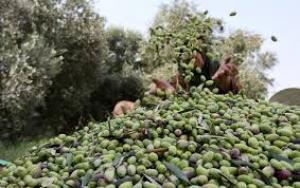لصوص ينهبون زيتون جرش .. والمزارعون يطالبون بحماية أشجارهم