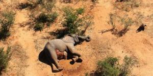 مئات الفيلة تموت بوسط جنوب أفريقيا ولا أحد يعرف السبب