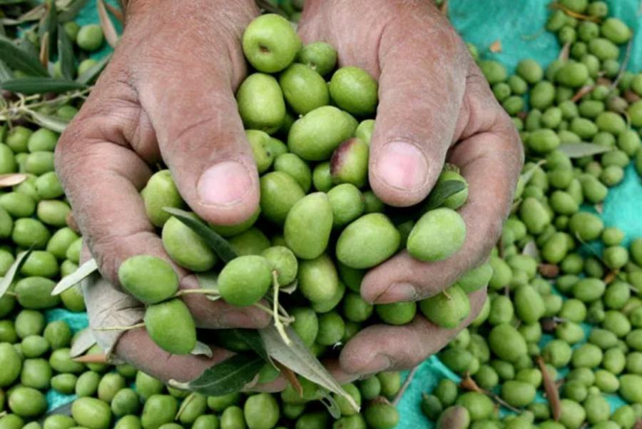 مزارعون يرفضون تمديد تصدير الزيتون لإسرائيل