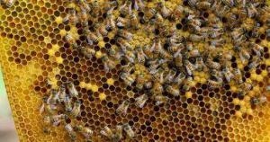 """""""الملكة والطنان"""" نحل لا ينتج عسلاً ..  تعرف على أشهر الأنواع"""