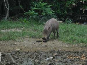 مزارعون يجددون شكواهم من مهاجمة الخنازير البرية لمحاصيلهم