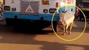 بالفيديو.. بقرة تنتقم من سائق حافلة صدم صغيرها بالخطأ!