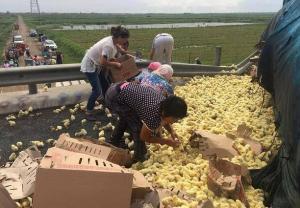 "صينيون يحاولون انقاذ 10 آلاف ""صوص"" بعد انقلاب شاحنة تقلهم"