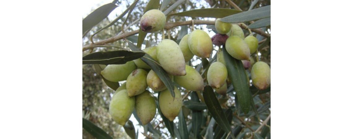 زراعة عجلون تدعو الى تاخير قطف ثمار الزيتون