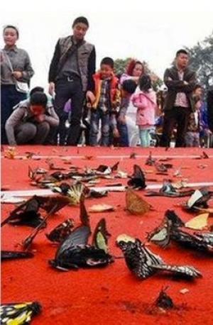 مقتل مئات الفراشات يحول احتفالاً في الصين إلى كارثة ... صور