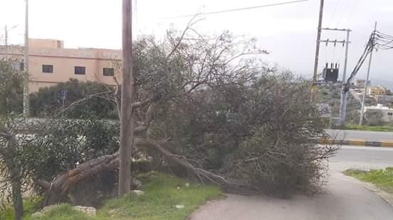 بالصور  ..  شدة الرياح تقتلع اشجاراً كبيرة في إربد