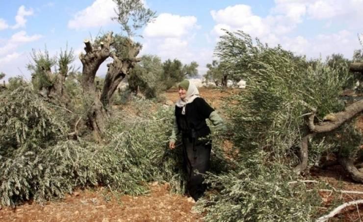 مستوطنون يتلفون 140 شتلة زيتون في بلدة الخضر
