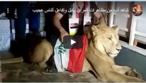 بالفيديو :عراقي برفقة أسد في الاحتجاجات