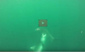 بالفيديو .. معركة نادرة بين اثنين من أخطر أنواع القرش