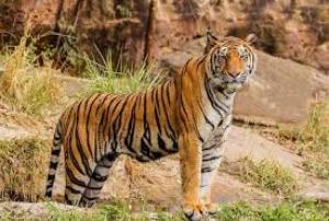 أنثى نمر تقتل حارستها أمام الزوار بحديقة حيوانات في سويسرا