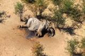 بالصور ..  وفاة جماعية غامضة اثر العثور على 350 فيلاً نافقًا في جنوب إفريقيا
