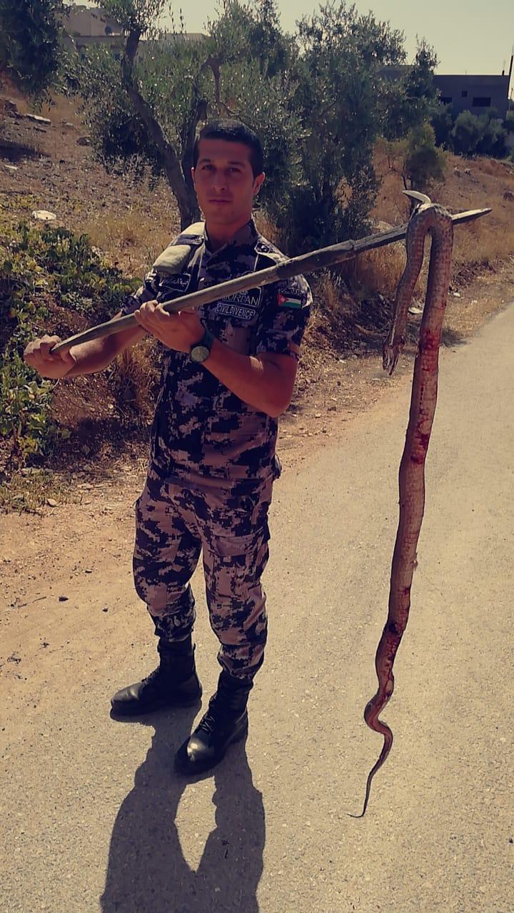 الدفاع المدني يقتل أفعى سامة محافظة اربد