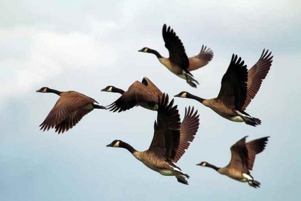 لماذا تختلف أشكال أجنحة الطيور؟