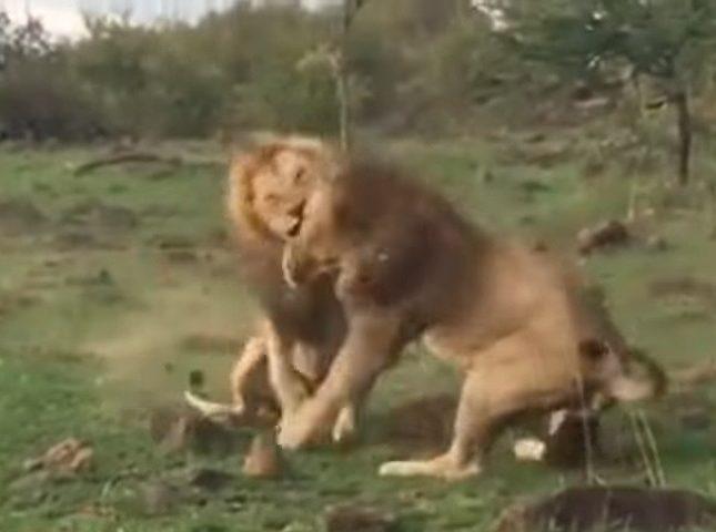 بالفيديو  ..  معركة شرسة بين أسدين للفوز بلبؤة ..  شاهد من فاز في النهاية!