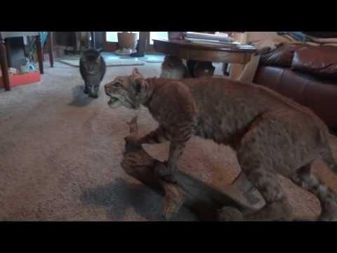 اربع قطط تذعر وتهرب من من قط البوب المحشو ...