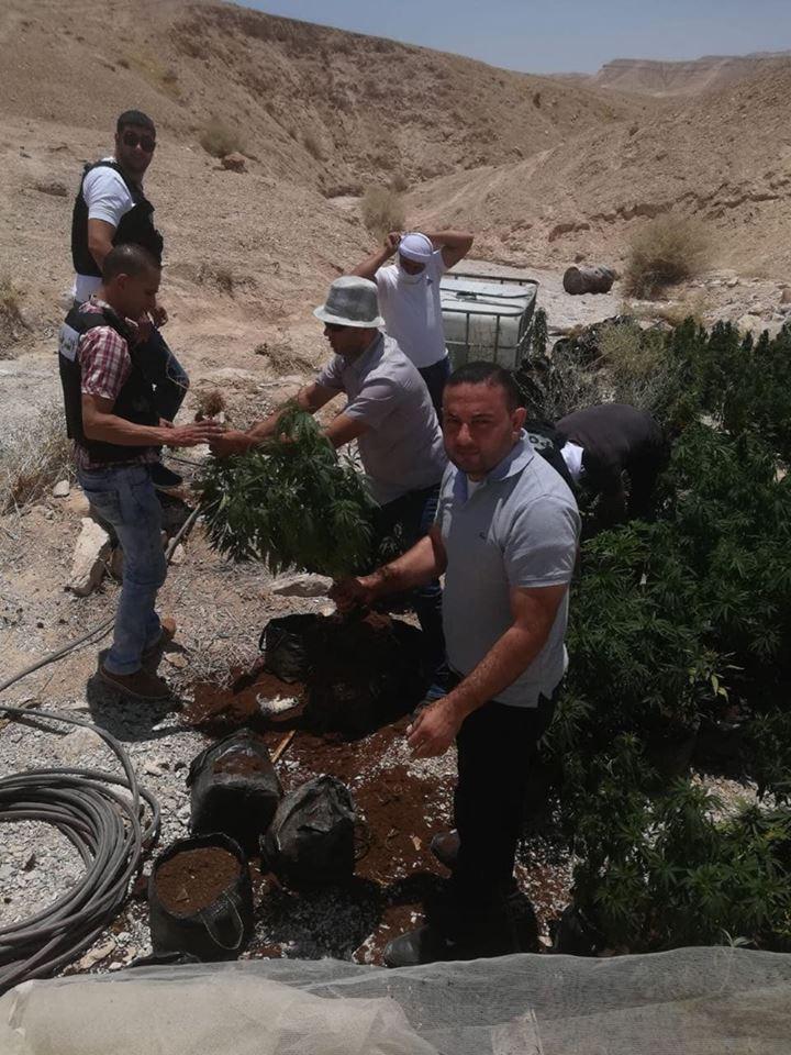 بالصور ..  ضبط 500 شتلة مخدرة ببرية بيت لحم