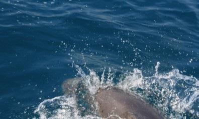 بالصور  ..  فى سابقة هي الاولي من نوعها : أسماك الدولفين تظهر فى بحر غزة