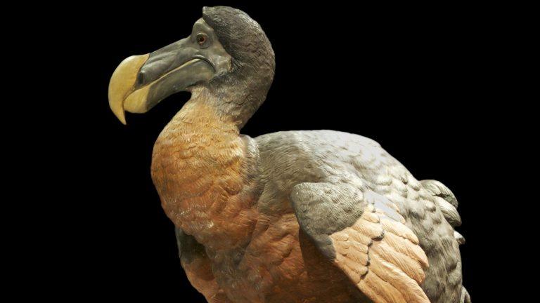 """بالصور  ..  بيع هيكل عظمي لطائر """"الدودو"""" المنقرض بـ 622 ألف دولار"""