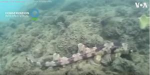 """اكتشافٌ مذهل ..  سمكة قرشٍ """"تمشي"""" في قعر المحيط!(فيديو)"""