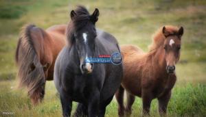 """تعرف على""""أصل الخيول"""" الذي حيّر العلماء"""
