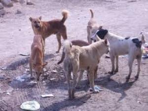 القويسمة وشفا بدران وأحد أكثر المناطق تضرراً من الكلاب الضالة