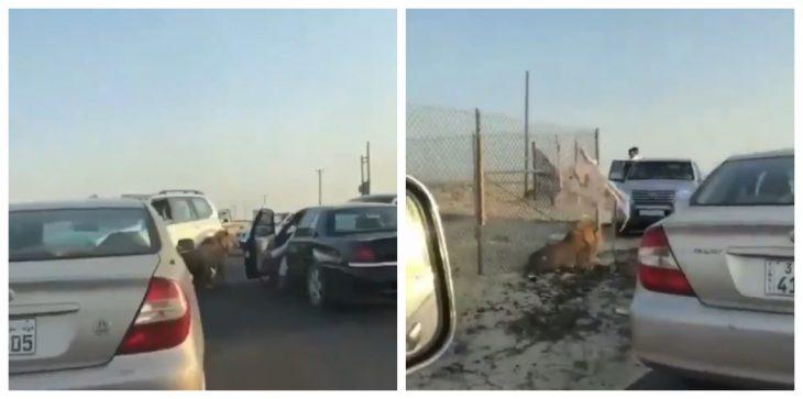 بالفيديو ..  أسد طليق يجوب شوارع الكويت