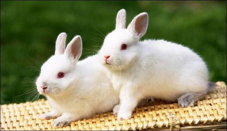 بعد كورونا… وباء جديد يهدد الأرانب في أمريكا