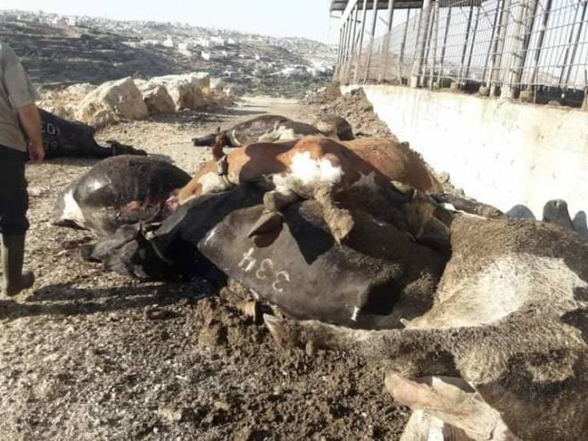 الخليل: نفوق 50 رأسا من البقر برصاص مسلحين مجهولين